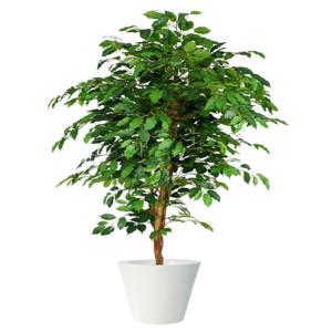 Pianta Ficus Benjamin