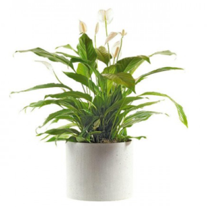Pianta Spatifilium