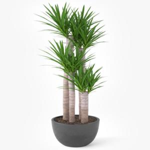 Tronco yucca